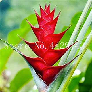 New 100 pcs Heliconia Seeds Rare Color sucuulent Plant, False Bird of Paradise Indoor Seeds Plant Flower Seeds, Easy to Grow