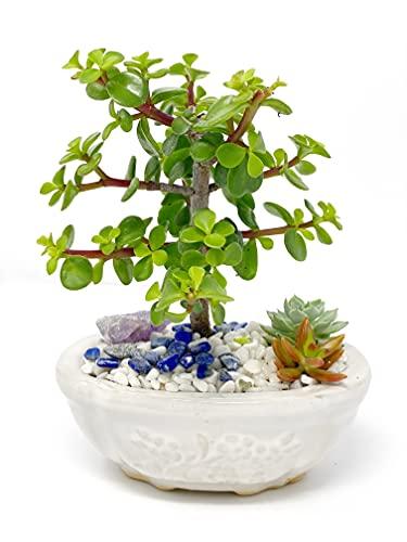 Creations by Nathalie Live Dwarf Jade Plant Mini Bonsai Tree with Ceramic Base Succulents Decorative Rocks & Healing Crystals Florida-Grown Jade Bonsai Tree Indoor Decor (White)