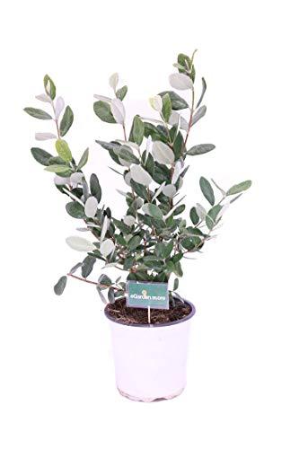 Pianta di Feijoa Albero di Feijoa pianta da frutto di Feijoa pianta vera venduta da eGarden.store (Feijoa vaso 17)