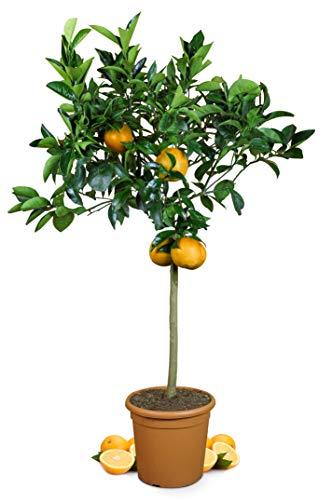 Meine Orangerie Orangenbaum Grande - echte Orange - Zitruspflanze - 110-140 cm - Citrus sinensis - Orange Tree - veredelter Apfelsinenbaum in Gärtner-Qualität