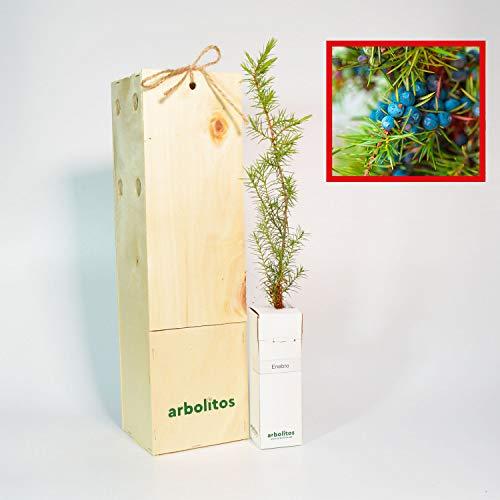 ENEBRO - arbolito de pequeño tamaño en caja de madera -