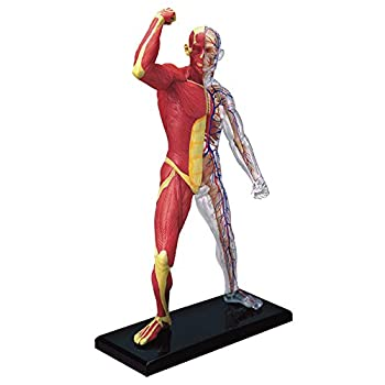 Famemaster 4D-Vision Human Muscle And Skeleton Anatomy Model Multi-colored 10