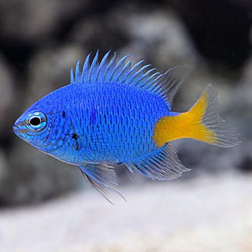 【海水魚/観賞魚/スズメダイ】 シリキルリスズメ ■サイズ:3cm± (20匹)