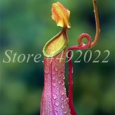 AGROBITS 300 pièces rayées Nepenthes Bonsai Manger moustiques Plantes carnivores Pitcher Tropical Catch Jardin des insectes pour Flower Pot en pot: 24