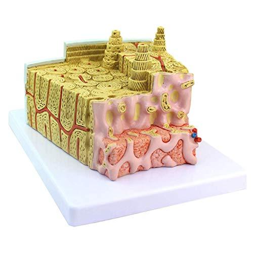 BBYT Estructura osea Modelo Microscópico Anatómico Modelo Sistema de Ejercicio Ortopedía Clínico Médico Educativo Formación Ayuda
