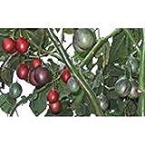 """Il pomodoro albero è una pianta perenne di frutta tropicale, ma i frutti di rosso come un pomodoro avrà niente a che fare con un pomodoro. Il frutto ha un sapore """"diverso"""", tropicali ed è estremamente ricco di vitamina C. La pianta è vigorosa e può e..."""