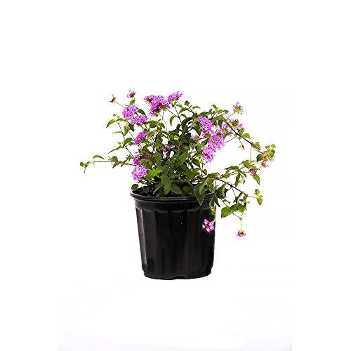 AMERICAN PLANT EXCHANGE Lavender Lantana 1 Gallon Live Plant, 6' Pot, Purple Flowers