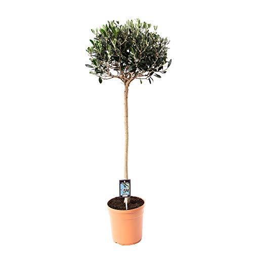 Mein schöner Garten Olivenbaum mit Stamm - 1er Set - Olea europaea - Olivenbaum - Liefergröße: ca. 60 cm - winterhart - pflegeleicht