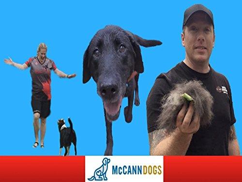 Puppy Agility Training, A Labrador Retriever