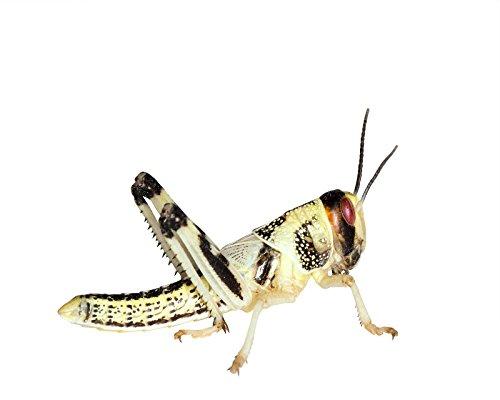 50 mittelgroße Heuschrecken (Wüstenheuschrecken) als Futterinsekten und Reptilienfutter