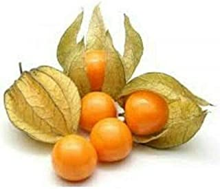 PHYSALLIS - Ground Cherry - Cape Gooseberry - 4