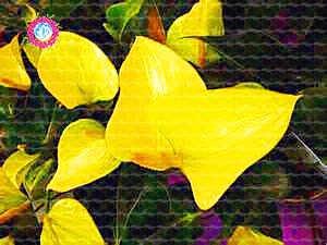 , Les graines de 50pcs Anthurium, graines en pot, graines de fleurs, la variété complète, le taux de 95% en herbe, (couleurs mélangées) 7
