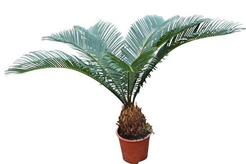Zimmerpflanze – Haus oder Büro – Cycas Revoluta – Japanische Sago-Palme ca. 45 cm hoch