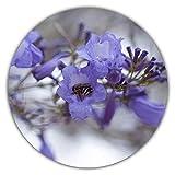 Palisanderbaum/Jacaranda mimosifolia/Bienenfreundlich / 50 Samen
