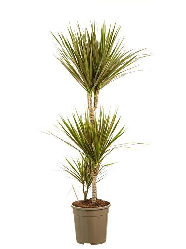 Dracaena Bicolore | plante d'intérieur| hauteur 125 cm | Pot 24 cm | Entretien facile