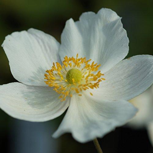 Blumixx Stauden Anemone Japonica-Hybr....
