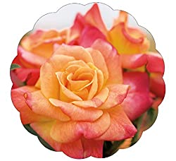 A rose flower in full bloom with Yellow, Pink, Salmon, and Apricot colored petals.