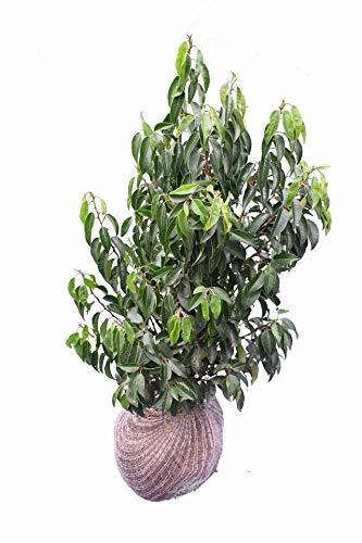 Portugiesische Lorbeer - Prunus lusitanica Angustifolia - Pflanzhöhe 100-120 cm - BALLENWARE (50)