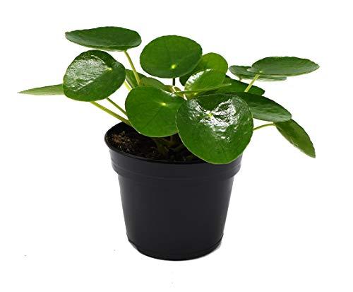 Glückstaler, (Pilea peperomioides), Chinesischer Geldbaum, Zimmerpflanze, (im 11cm Topf)