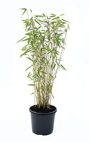 Bambus Fargesia Jumbo winterhart, hortsig und schnell-wachsend, ideal als Sichtschutz, keine Wurzelausläufer (40/60 cm hoch)
