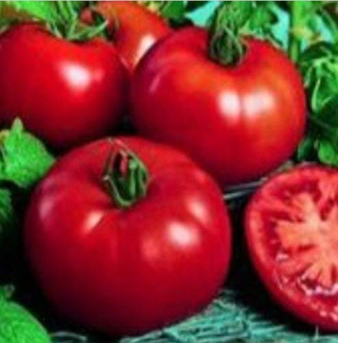 Frische Heirloom sibirischen Tomate Frühe OP 50 Samen Set Frucht bei 38 ° F (3,33 ° C)