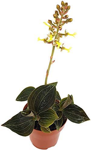 Fangblatt - Aneoctochilus chapaensis außergewöhnliche Blattschmuck Orchidee - mit gelben Blüten - zauberhafte Juwelorchidee