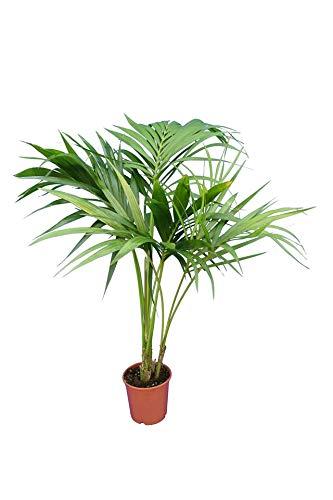 Kentia Palme - Howea Forsteriana - Zimmerpflanze sehr pflegeleicht - Gesamthöhe 100-120cm Topf Ø 17cm