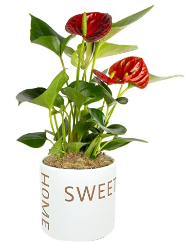 Costa Farms Live Anthurium Indoor Plant in Premium Sweet Home Planter, 10 Inches Tall, Gift and Room Decor