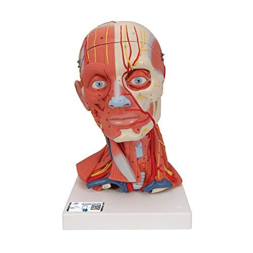 3B Scientific C05 Modelo de anatomía humana Musculatura de la Cabeza y del Cuello, 5 Piezas + software de anatomía gratuito - 3B Smart Anatomy
