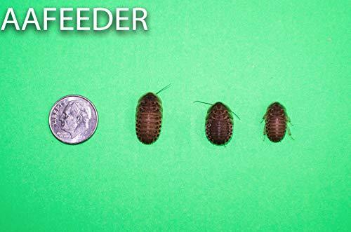 Dubia Roaches 100 Medium