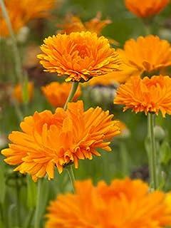 Keland Garten - Selten Ringelblume Calendula Orange als Bienenweide Goldblume, Blumensamen winterhart mehrjährig im Steingarten Bauerngarten Rosengarten