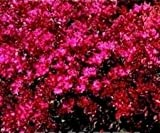 Just Seed - Flower - Sedum spurium coccineum - 200 Seed