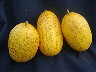 sambar cucumber plant