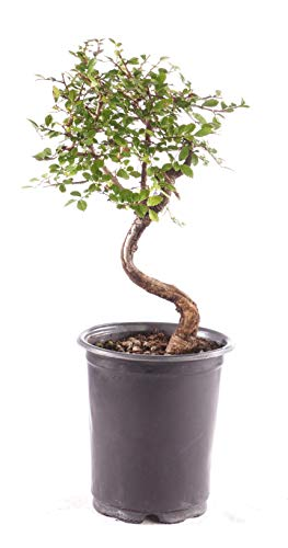 Brussel's Bonsai Live Chinese Elm Outdoor Bonsai Tree 5 Years Old 6'-8' Tall in Plastic Grower Pot, Small