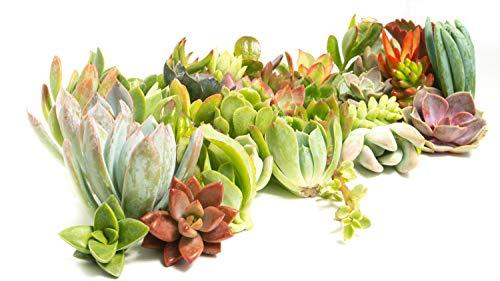 Jiimz 51 Succulent CUTTINGS Great for Vertical Gardens & Wreaths & topiaries