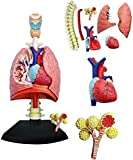 XIEZI Anatomical Model 4D Human Lung Model Respiratory System Anatomical Model Assembly Model Removable Medical 27 Removable Parts Medical Puzzle Assembling Toys