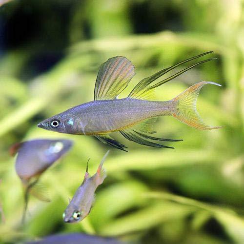 (熱帯魚)ニューギニアレインボー(4匹) 北海道航空便要保温
