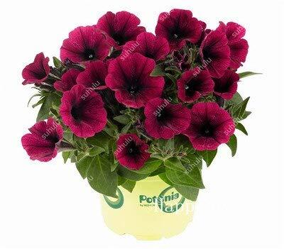 Sumpf frisch 100 Stück Petunia Blumensamen zum Pflanzen Dunkelrosa