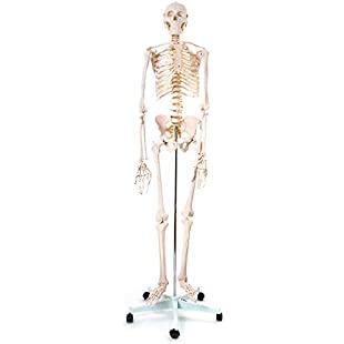 66fit Human Skeleton On Stand -170cm Tall - Medical Educational Training Aid