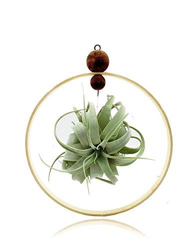 Tillandsien Pflanzen Mit Holz Ringe 20 cm | Zimmerpflanze Blumenampel | Tillandsia Pflanze Blumentopf Hängend | Luftpflanzen Rustikale Deko Für Büro Und Haus