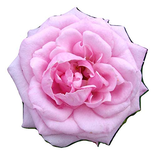 Shop Meeko Rosa Diamante Wishes- & Flower Regalo per Diamond Wedding Anniversario, 60th Diamante