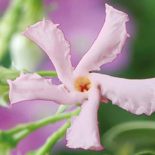 Rosa Sternjasmin Star of Sicily/Pink Showers (Immergrün) - Rosa-Apricot, duftend & Winterhart | Toskanischer Jasmin | ClematisOnline
