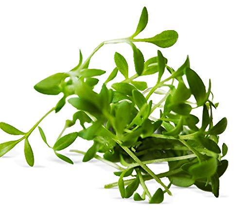 1000 graines Aromatiques - CRESSON Alénois commun - Lepidium sativum
