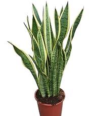 Planta de interior - Planta para la casa o la oficina - Sansevaria - Lengua de suegra variegada - Aprox. 30 cm de alto