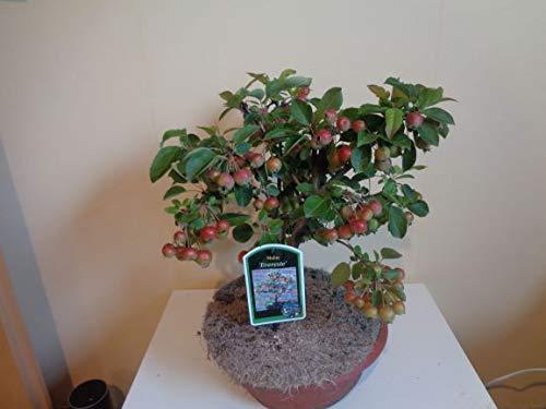 Malus Bonsai Zier-Apfel Everste Bonsai in Plastikschale gewachsen