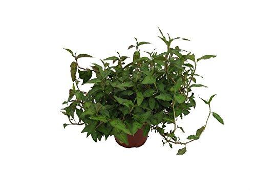Vietnam-Koriander, Koriander Pflanze
