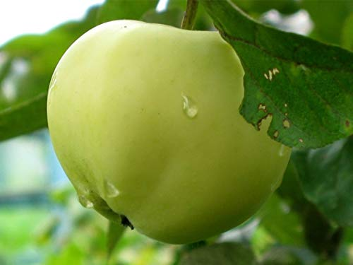 Apfel Belij Naliv,Sommerapfel,Zwergapfelbaum,Apfelbaum ca.160 cm, Белый Налив