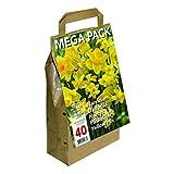 Bulbi di fiori olandesi di alta qualità. 45 bulbi per confezione. Magnifici narcisi gialli. Dimensioni dei bulbi: 8/10.
