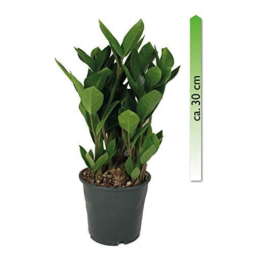 mgc24, Pflanzenservice Zamioculcas zamiifolia, im 14er Topf, Glücksfeder
