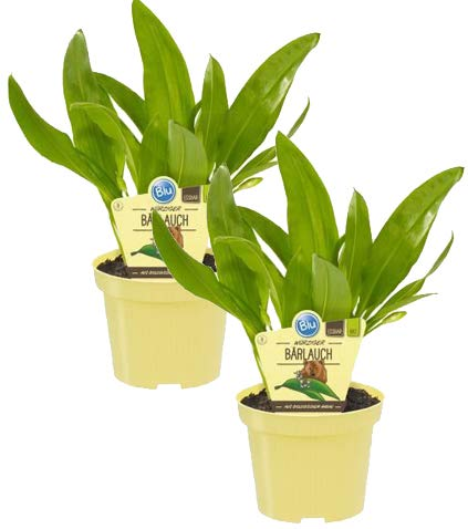 Bio Bärlauch, (Allium ursinum), Kräuter Pflanzen aus nachhaltigem Anbau (2 Pflanzen, je im 12cm Topf)